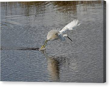 Canvas Print featuring the photograph Snowy Egret Wind Sailing by John M Bailey