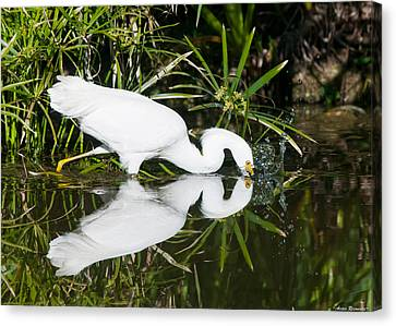 Canvas Print featuring the photograph Snowy Egret With Reflection by Avian Resources