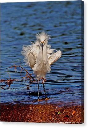 Snowy Egret With Yellow Feet Canvas Print by Tom Janca