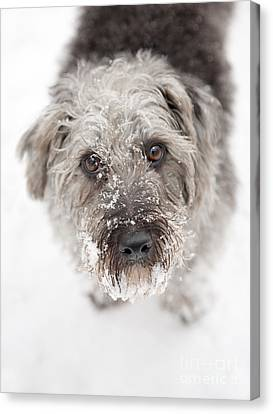 Snowy Faced Pup Canvas Print by Natalie Kinnear