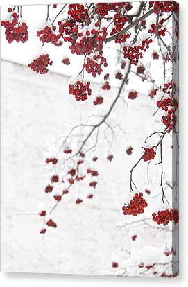 Snowy Hawthorn Berries  Canvas Print