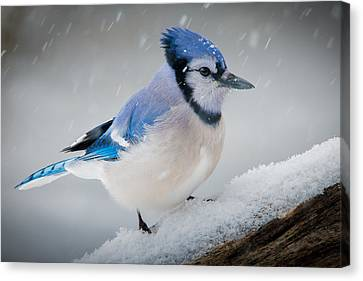 Snowy Jay Canvas Print