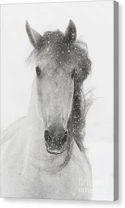 Snowy Mare Canvas Print