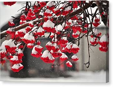 Canvas Print featuring the photograph Snowy Mountain Ash Berries by Fran Riley