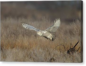 Canvas Print featuring the photograph Snowy On The Wing by Daniel Behm