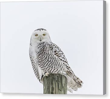 Snowy Owl 2014 1 Canvas Print by Thomas Young