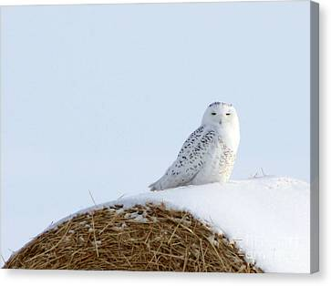 Canvas Print featuring the photograph Snowy Owl by Alyce Taylor