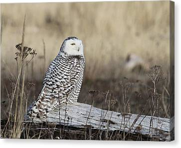 Snowy Owl Canvas Print by Angie Vogel