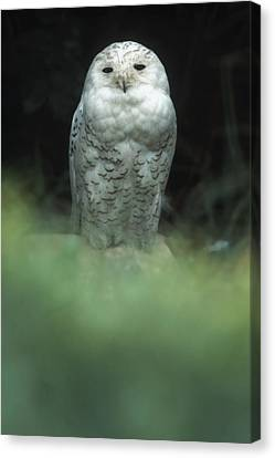 Snowy Owl Canvas Print by Bud Simpson