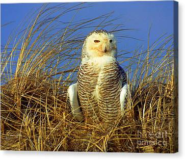 Snowy Owl  Canvas Print by CapeScapes Fine Art Photography