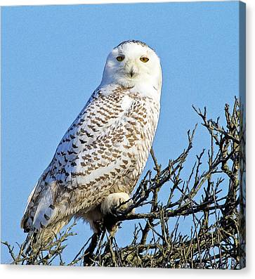 Canvas Print featuring the photograph Snowy Owl by Constantine Gregory