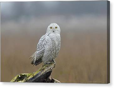 Canvas Print featuring the photograph Snowy Owl  by Daniel Behm