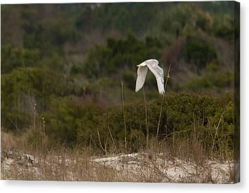 Canvas Print featuring the photograph Snowy Owl Dune Flight by Paul Rebmann