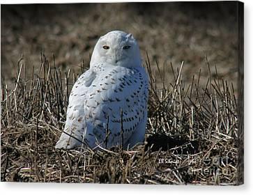 Snowy Owl Canvas Print by E B Schmidt