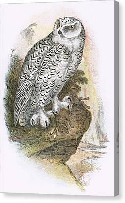 Snowy Owl Canvas Print by English School