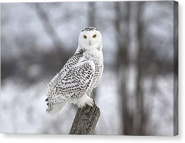 Snowy Owl Canvas Print by Eunice Gibb