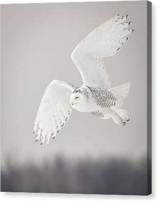 Snowy Owl In Flight 4 Canvas Print by Thomas Young