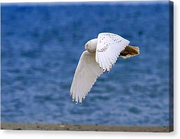 Snowy Owl In Flight Canvas Print by Aaron Smith