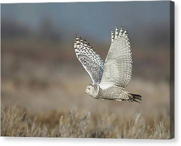 Canvas Print featuring the photograph Snowy Owl In Flight by Daniel Behm