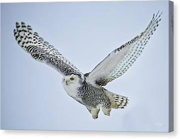 Snowy Owl In Flight Canvas Print