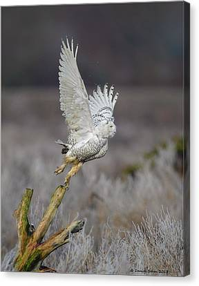 Canvas Print featuring the photograph Snowy Owl Liftoff by Daniel Behm