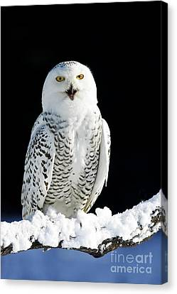 Snowy Owl On A Twilight Winter Night Canvas Print by Inspired Nature Photography Fine Art Photography