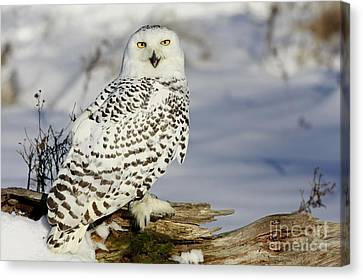 Snowy Owl On A Winter Hunt Canvas Print by Inspired Nature Photography Fine Art Photography