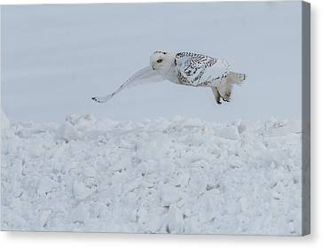 Canvas Print featuring the photograph Snowy Owl #1/3 by Patti Deters