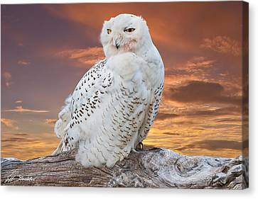 Snowy Owl Perched At Sunset Canvas Print