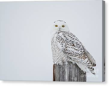 Snowy Owl Perfection Canvas Print by Cheryl Baxter