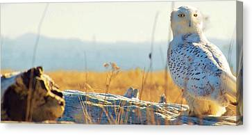 Snowy Owl Canvas Print by Robert Martin