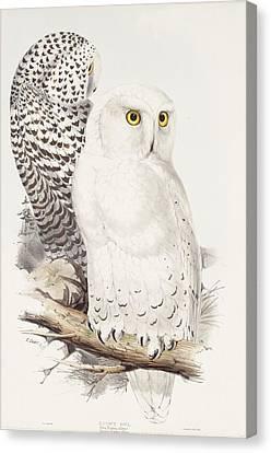 Snowy Owl Canvas Print by Edward Lear