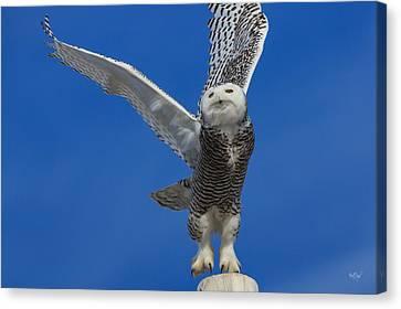 Snowy Owl Taking Flight Canvas Print