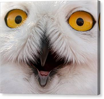 Snowy Owl Up Close And Personal Canvas Print by Laura Duhaime
