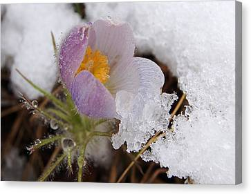Snowy Pasqueflower Canvas Print