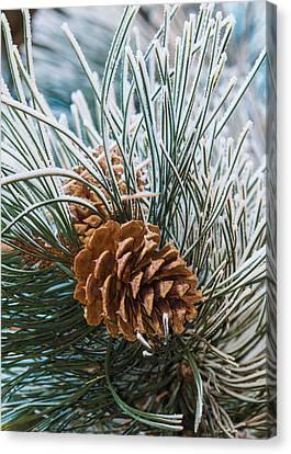 Snowy Pine Cones Canvas Print