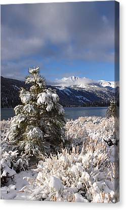 Canvas Print featuring the photograph Snowy Pine  by Duncan Selby