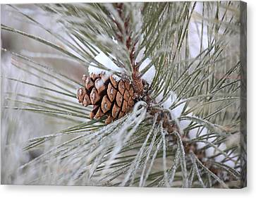 Snowy Pine Canvas Print by Penny Meyers