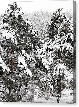 Snowy Pines Canvas Print by Kathleen Struckle