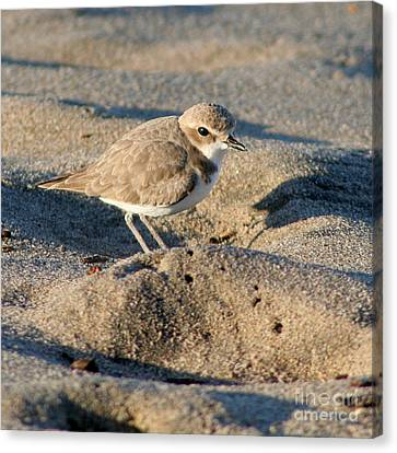 Canvas Print featuring the photograph Snowy Plover by Bob and Jan Shriner