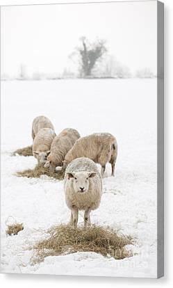 Snowy Sheep Canvas Print by Anne Gilbert
