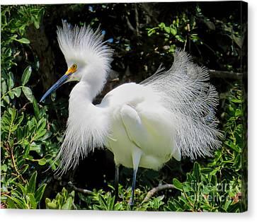 Snowy White Egret Breeding Plumage Canvas Print