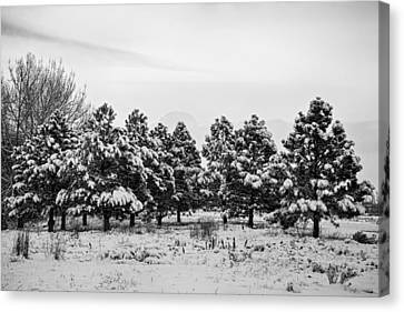 Snowy Winter Pine Trees In Black And White Canvas Print by James BO  Insogna