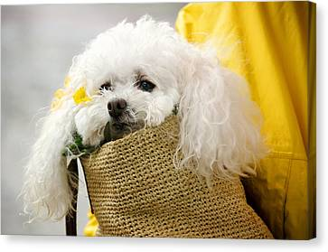 Snuggled Poodle Dog Canvas Print by Donna Doherty