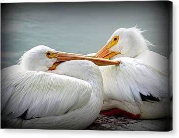 Flying White Pelicans Canvas Print - Snuggly Pelicans by Laurie Perry