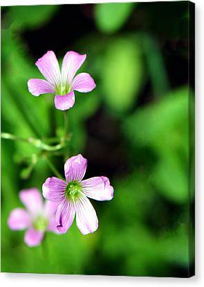 So Delicate In Purple. Texas Spring Perennial Canvas Print