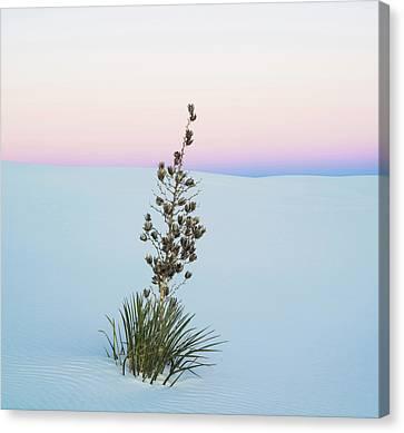 Soaptree Yucca Yucca Elata In Predawn Canvas Print
