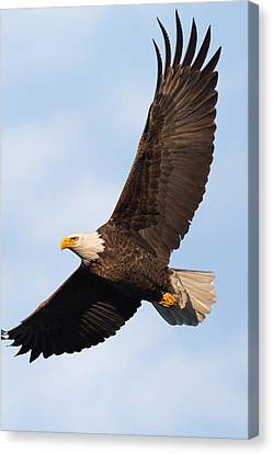 Eagle Canvas Print - Soaring American Bald Eagle by Bill Wakeley