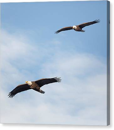 Soaring Bald Eagles Square Canvas Print by Bill Wakeley