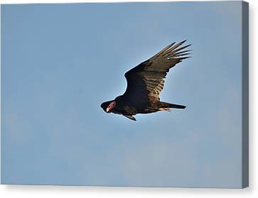 Canvas Print featuring the photograph Soaring by David Porteus